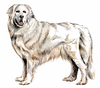 Pyrenean Mountain Dog clip art