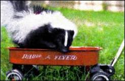 Skunk pet