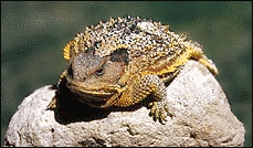 lizard Short Horned Lizard
