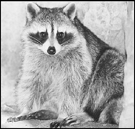 racoon sitting