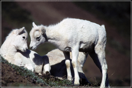 sheep Dall Sheep Lambs