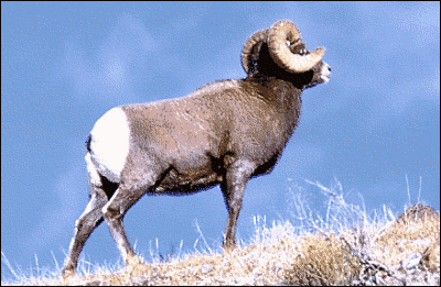 sheep bighorn sheep