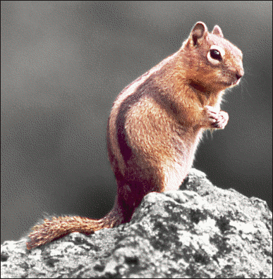 squirrel Golden mantled ground squirrel spot color