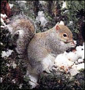 squirrel Grey Squirrel