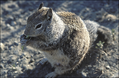 squirrel Ground Squirrel