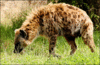 hyena Spotted clip art
