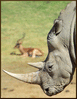 rhinoceros rhino photo clip art