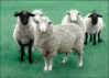 sheep 1 clip art