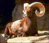 sheep Bighorn clip art