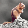 squirrel Golden mantled ground squirrel spot color clip art