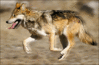 wolf mexican wolf clip art