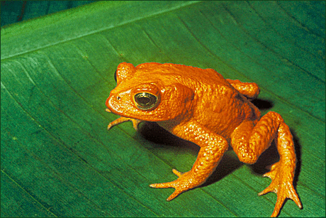 toad golden toad