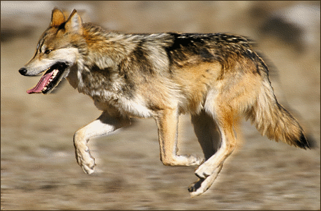 wolf mexican wolf
