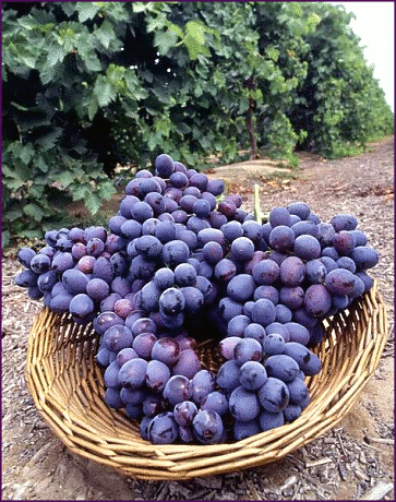 autumn royal grapes