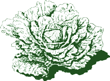 cabbage Dutch cabbage