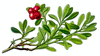 bearberry clip art