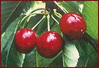 cherries 5 clip art