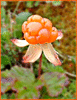 cloudberry ripe clip art