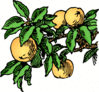 peaches on branch color clip art