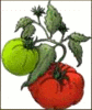 tomatoes 1 clip art