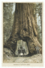 Postcard redwood clip art