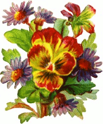 pansy daisies