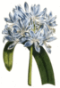 African lily clip art