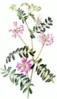 Crown Vetch clip art
