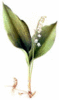Lily of the Valley 2 clip art
