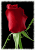 rose photo clip art