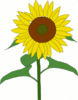 sunflower 5 clip art