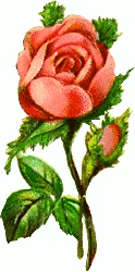 victorian pink rose