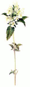 Downy Hempnettle