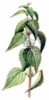 Deadnettle clip art