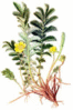 Silverweed clip art